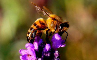 Propiedades del veneno de abeja