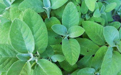 Beneficios de extracto de hojas de salvia